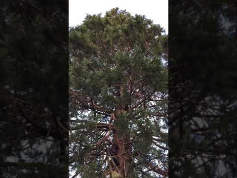Giant redwood (Sequoiadendron giganteum) - crown - February 2018