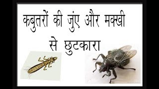 How to Cure the Problem of Ticks & Flies in Pigeon Birds By Aman Prabhakar