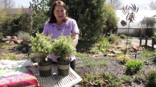 How To Thicken Variegated Boxwood Hedges : Grow Guru