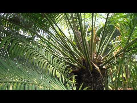 Otro vídeo de la Cica de hojas largas: Cycas circinalis(www.riomoros.com)