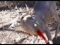 Arrow in the Throat! Giant Coues Buck! SLOCK