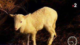 Marchés - Un mouton à sauver !