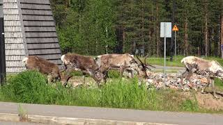 Pyhätunturin porot-Nature in summer in Finland and Reindeer