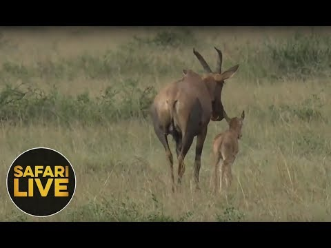 safariLIVE - Sunset Safari - September 5, 2018