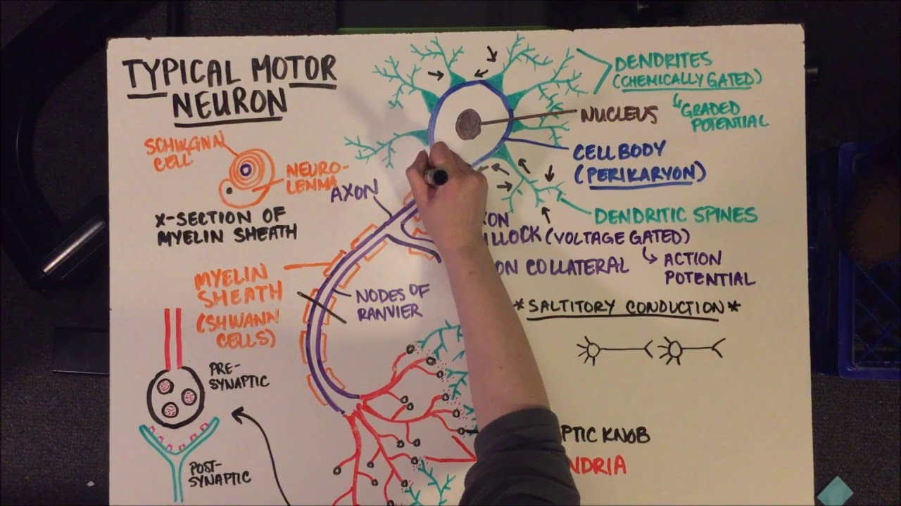 UM-D BIOL 305: Typical Motor Neuron Anatomy and Intro to Action ...