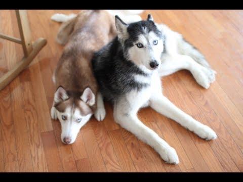 Mishka The Talking Husky And Laika Know Where The Treats Are Youtube