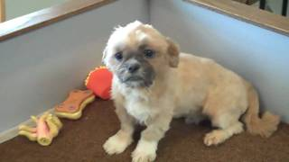 Shih Tzu Male Puppy Half Price