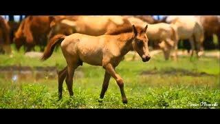 Kuda Sumba Timur - SANDELWOOD