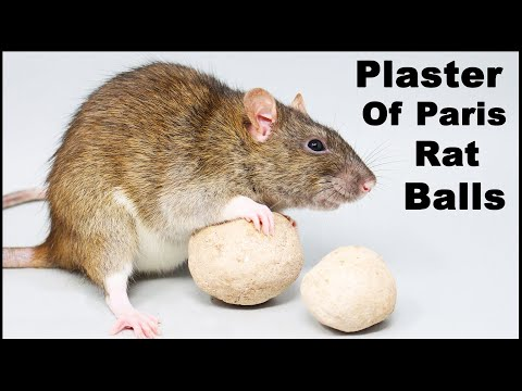 Does This Homemade Rat Poison Work? Plaster Of Paris