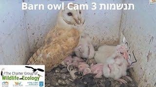 Barn Owl day 20| תנשמת 22.6.21 יום 20