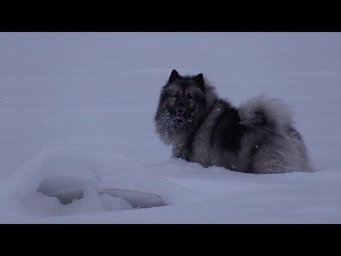 Немецкий Вольфшпиц и Малый Немецкий Шпиц в снегу / German Wolfspitz & Small German Spitz