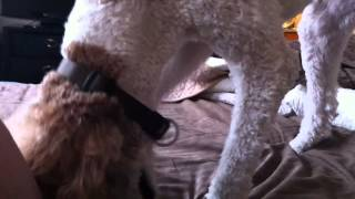 Standard Poodle Gets Rid Of Bed Bugs And Blankets.