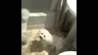 My Bichon Frises .......wash wash