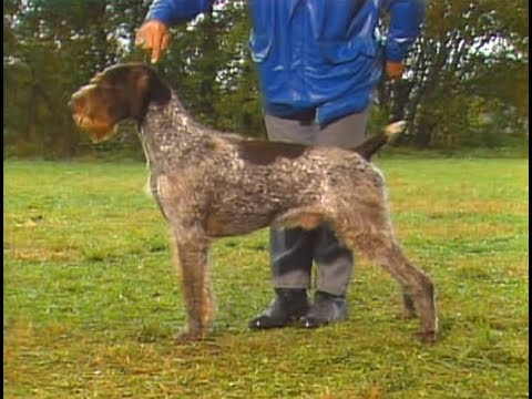 German Wirehaired Pointer - Drahthaar