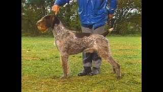 German Wirehaired Pointer - Drahthaar - Braco Alemán de Pelo Duro -...