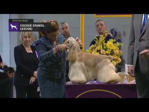 Spaniels Cocker A S C O B  | Breed Judging 2019