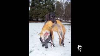Top 10 - Hunting Dogs