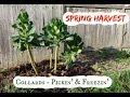 Springtime Collard Harvest: Picking and Freezing