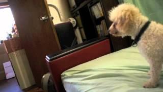一時預かりでやってきた保護犬のプードル、アン!声帯が切られているの...