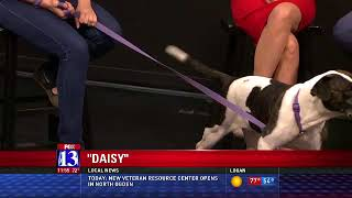 DAISY - Fox 13 Best Friend from the Humane Society of Utah