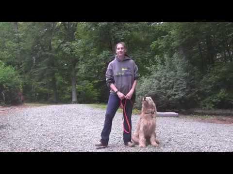Golden Doodle Dog Training Kernersville NC | Boone