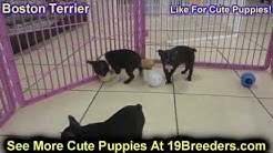 Boston Terrier, Puppies, Dogs, For Sale, In Jacksonville, Florida, FL, 19Breeders, Orlando