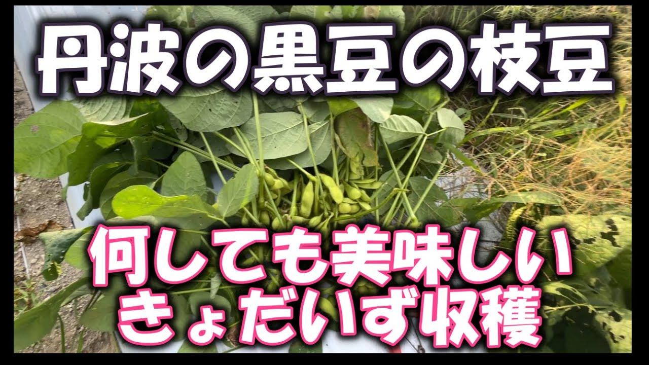 【丹波の黒豆収穫】枝豆にしても美味しい丹波の黒豆。試しにつくってみたくなるような野菜です。