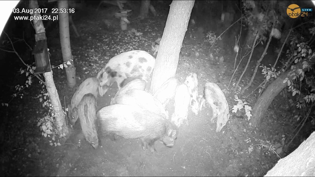 Locha z młodymi w karmisku dla dzikich zwierząt w lesie