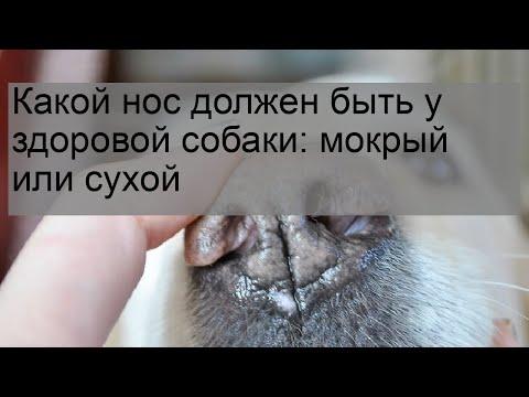 Вопрос: Почему у здоровой собаки нос должен быть мокрым и холодным?