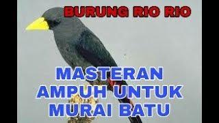 Download Burung jalak rio rio super gacor !!! Mp3