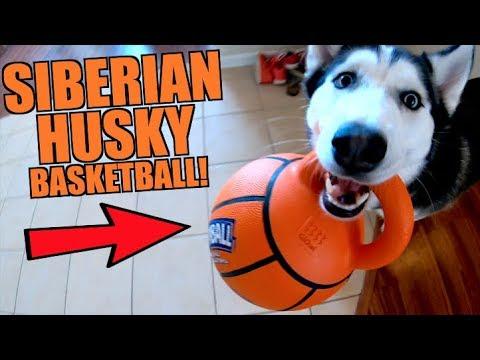 siberian-husky-plays-pro-basketball!