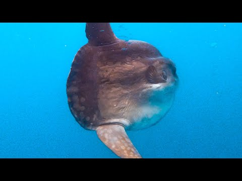 We Find A HUGE OCEAN SUNFISH Whilst Out At Sea !