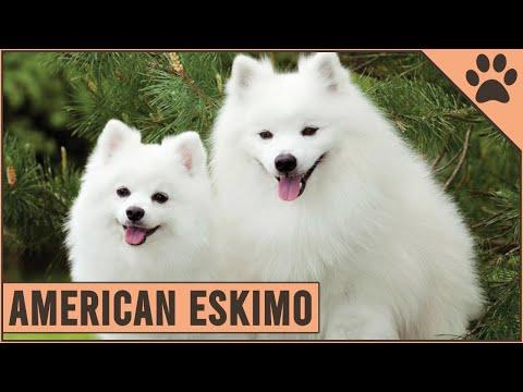 American Eskimo - Dog Breed Information