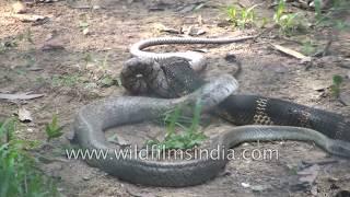 King Cobra - ruthless snake hunter