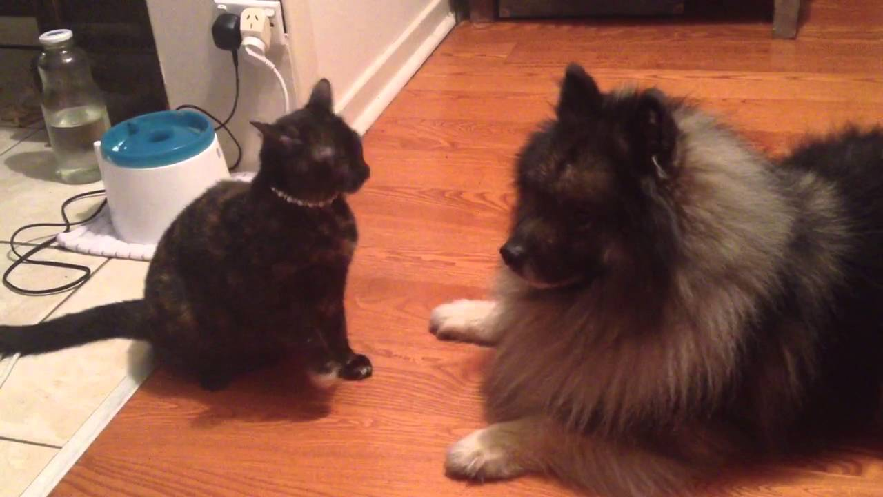 Keeshond And Cats Ballad the Kees...