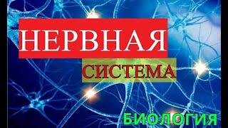 НЕРВНАЯ СИСТЕМА 8 КЛАСС / БИОЛОГИЯ / АНАТОМИЯ / МОЗГ / ЕГЭ / НС ЧЕЛОВЕКА
