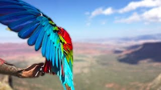 Freeflight Event Day 2 | October 2017 |  Galah Red Fronted Macaw Hybrid Scarlet Sacaw