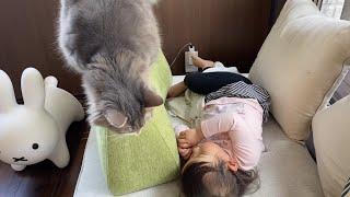 娘を起こす手を見て甘えたくなる猫 ラガマフィンA cat who wants to take care of her when she sees her daughter wake up.