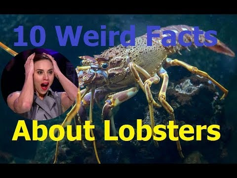 Curious - 10 Weird Facts About Lobsters | American Lobster