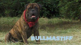 Bullmastiff Dog Breed 101