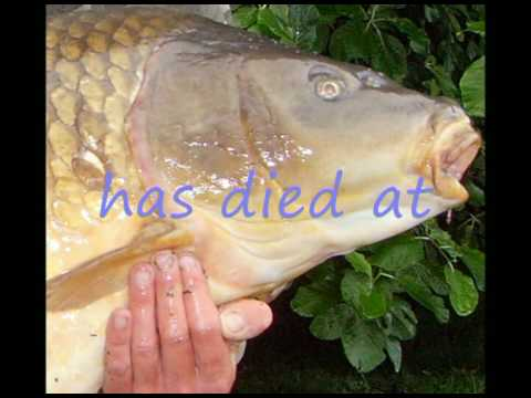 Koi pictures the biggest koi or carp youtube for Biggest koi fish
