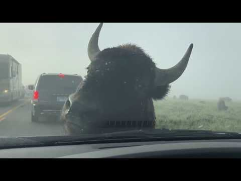 Yellowstone Bison in the Car Windshield