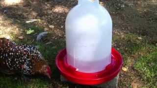 Hühner Tränke - Wasser mit Vitaminen oder Apfelessig
