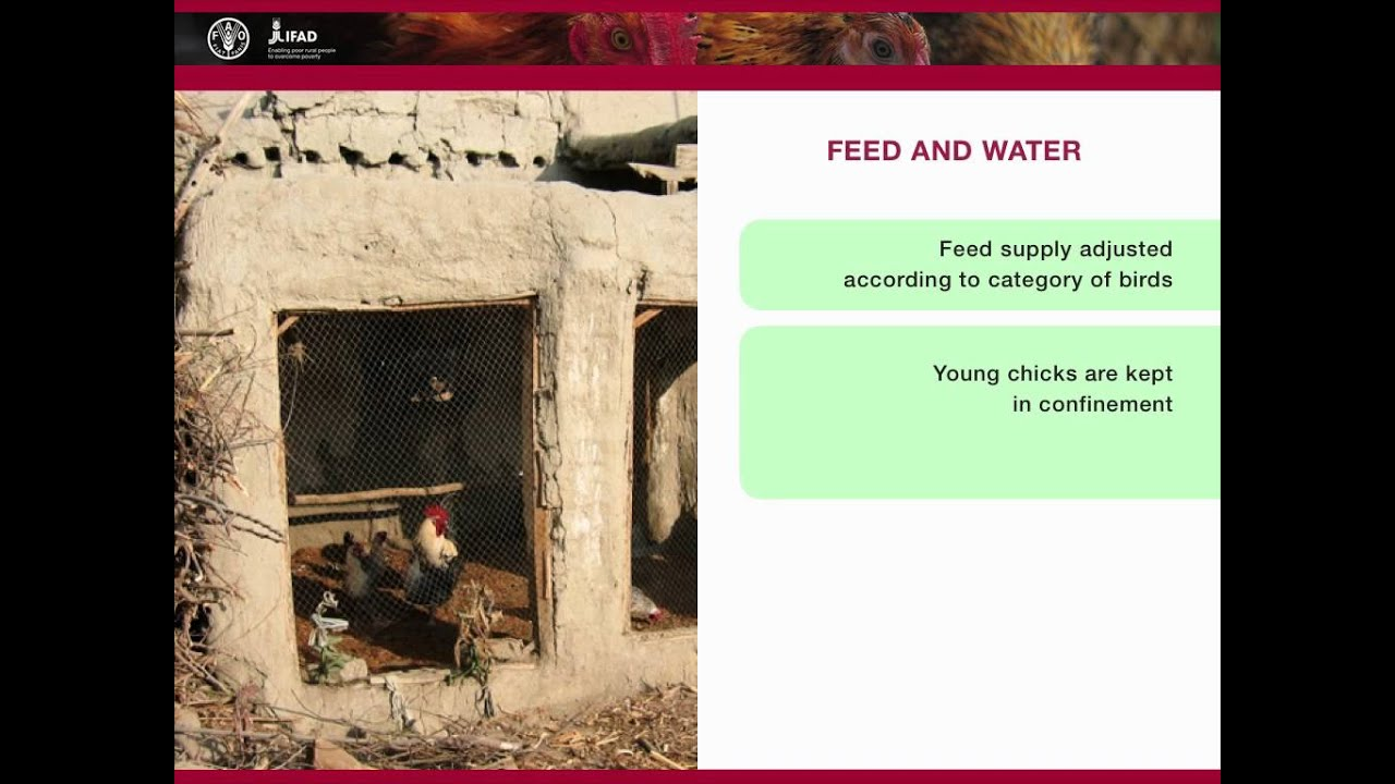Family poultry nutrition and feeding - The semi-intensive system
