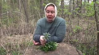 Зимолюбка травка лечебная    Для женщин и мужчин