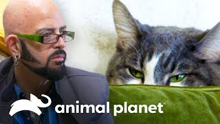 ¡Gata agresiva ataca a los amigos de la dueña! | Mi gato endemoniado | Animal Planet