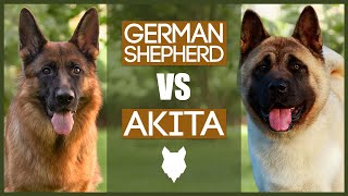 GERMAN SHEPHERD VS AKITA