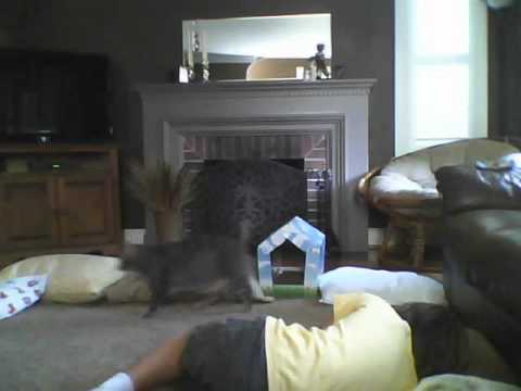 Cat Wrestler Blooper 1