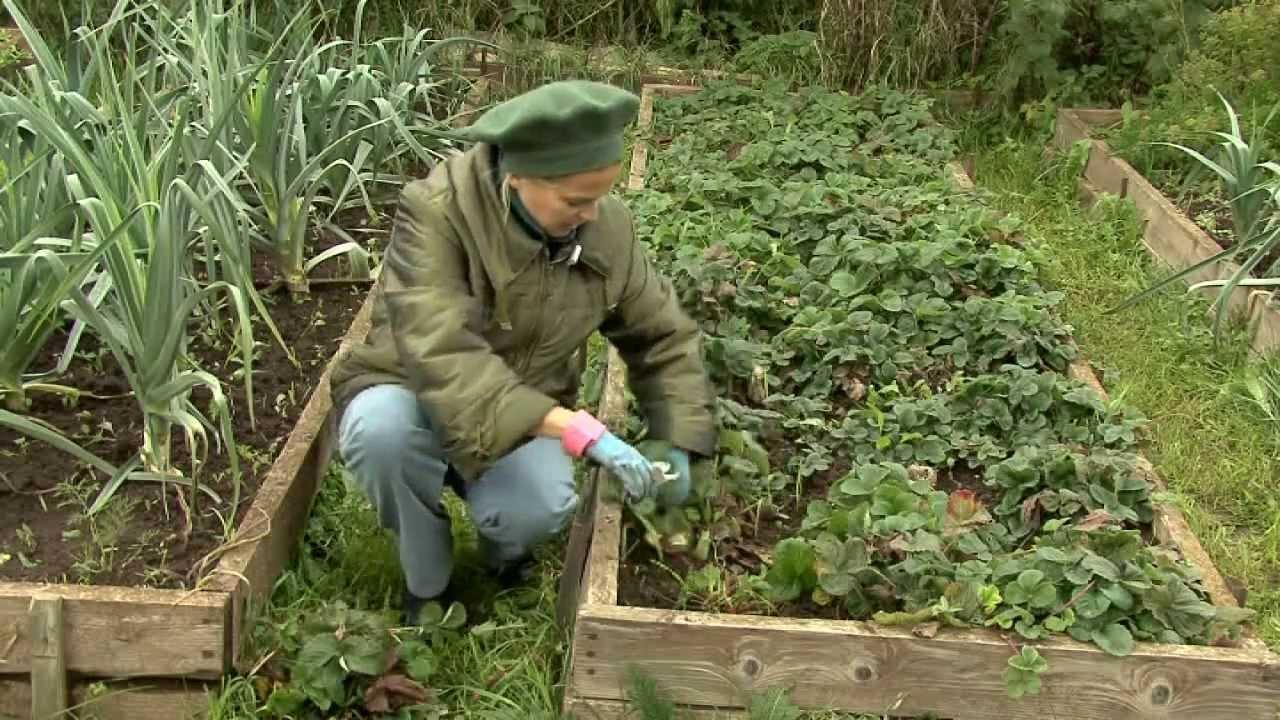 Природное земледелие клубника осень