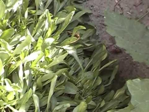 Пассифлора (страстоцвет). Применение, описание, химический